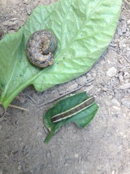 Two caterpillars found in the high tunnel on the tomatoes. Can you identify them?