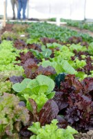 Salad mix growing in solar high tunnel.