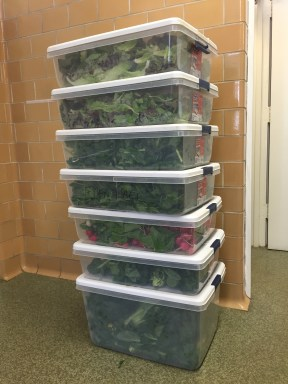 55 lbs of lettuce, arugula, tatsoi & spinach, along with 28 bunches of radishes, ready for delivery to Chatham's dining services!