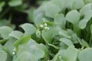 flowering Claytonia