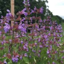 Beautiful flowering sage