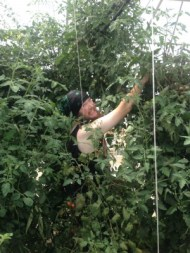 Tim harvesting tomatoes in the solar high tunnel tomato plant jungle