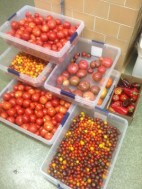 Tomato goodness headed to the Chatham Shadyside campus dining hall