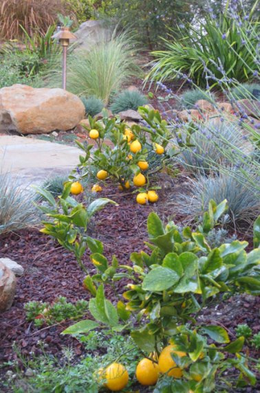 garden-bed-with-meyer-lemon.jpg