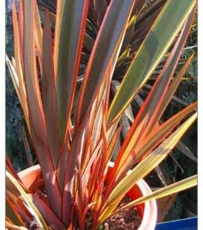 Phormium plant