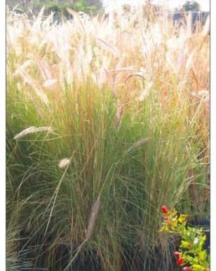 ornamental grass backlit by sun