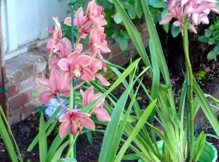 Mauve orchid planted outdoors