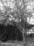 black and white photo of deciduous-tree-no-leaves-with-tire-swing-during-winter-season-edenmakers