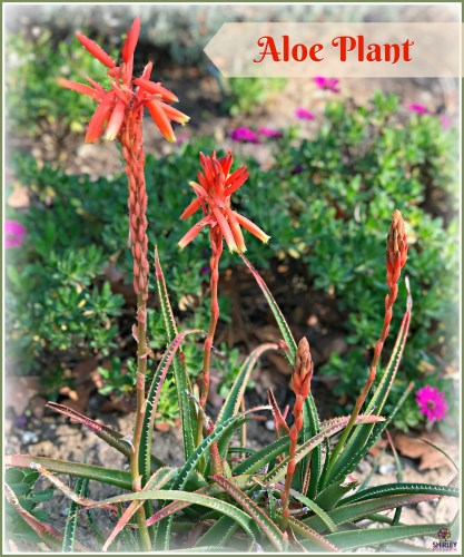 aloe plant in bloom with orange flowers.