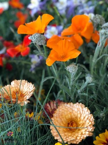 Orange California poppy Eschscholzia californica) in bloom.
