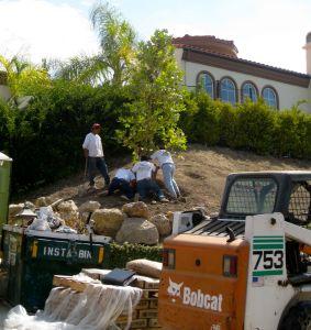 Bobcat in landscape project
