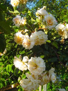 buff beauty yellow climbing rose
