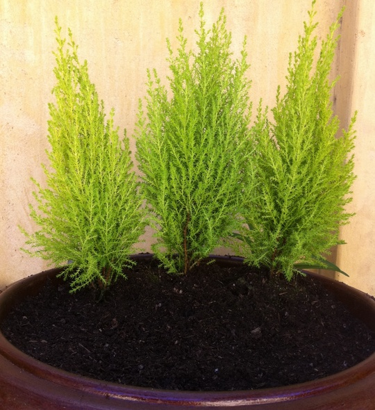 Lime_Green_Cypress_Plant_in_Container_Garden
