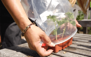 Plastic_ziplock_bag_as_mini_greenhouse_for_covering_plant_cuttings