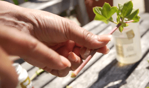 Small_geranium_plant-cutting_stem_Shirley_Bov show