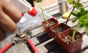 Water_Plant_Cuttings_with_Misting_bottle