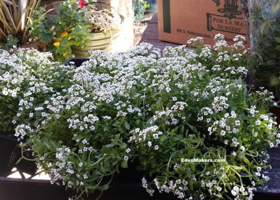 sweet-alyssum-in-six-pack-shirley-bovshow-edenmakers