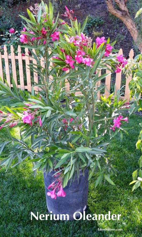 Nerium-Oleander-Poisonous-Plant-EdenMakers-Blog