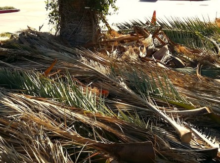 palm-fronds-on-ground-yearly-maintenance-trimming-edenmakers-blog