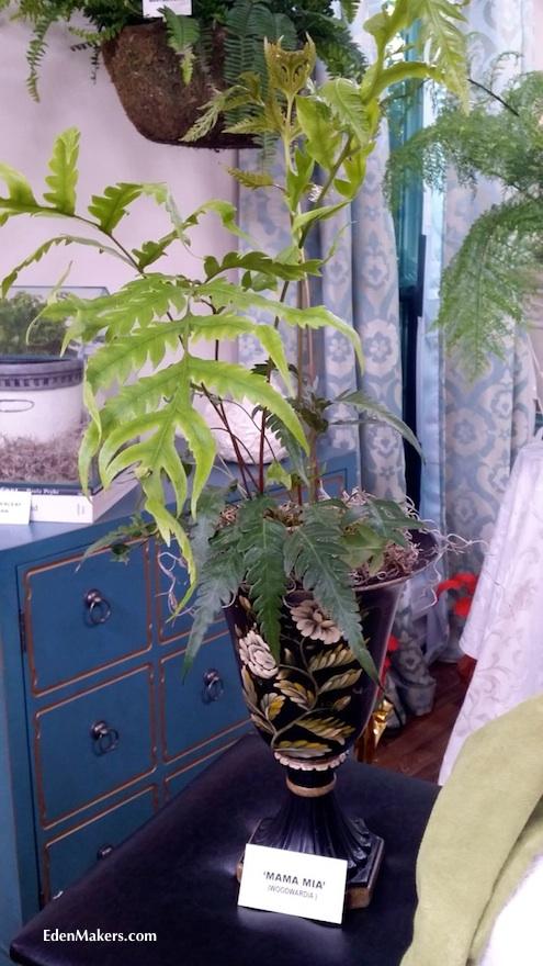 mama-mia-woodwardia-orientalis-fern-display-designed-shirley-bovshow-home-and-family-show