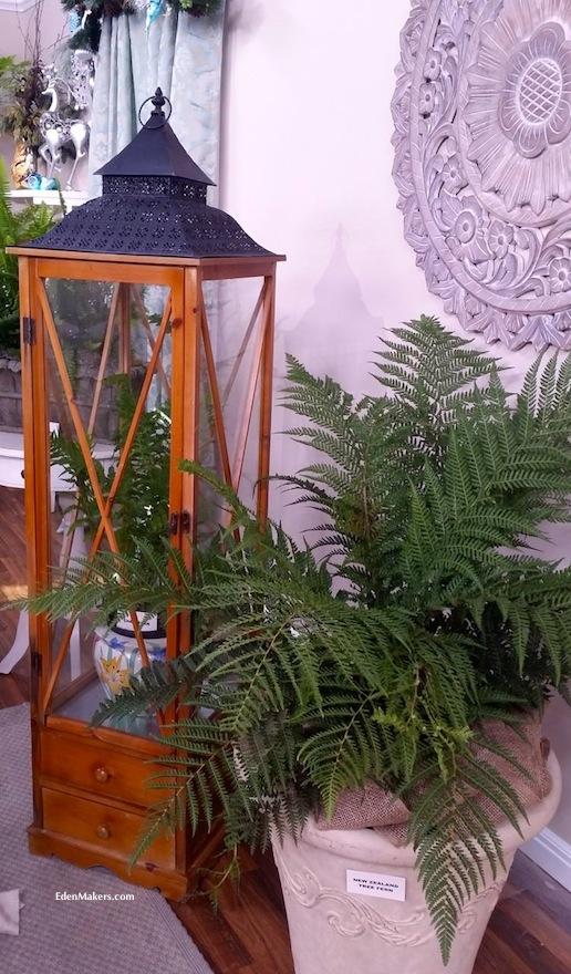 new-zealand-tree-fern-edenmakers-blog-shirley-bovshow-wardian-chest-ferns