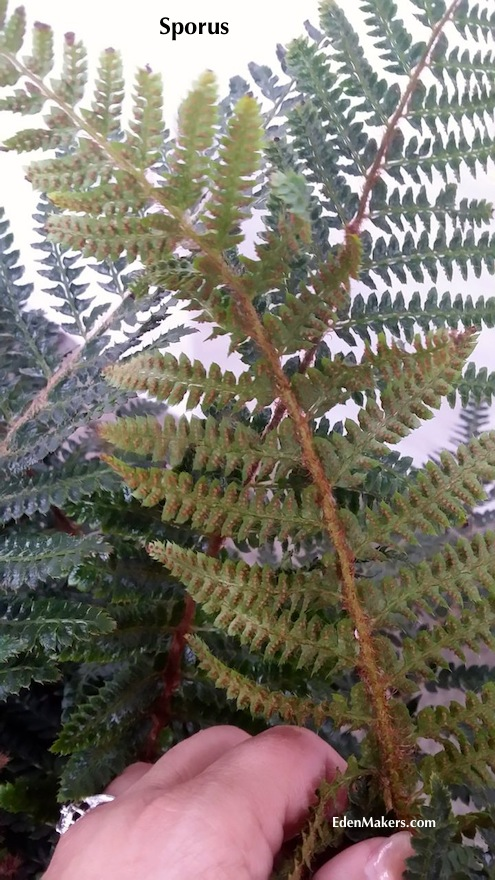 sori-spores-on-backside-of-polystichum-fern-frond-edenmakers-blog-shirley-bovshow