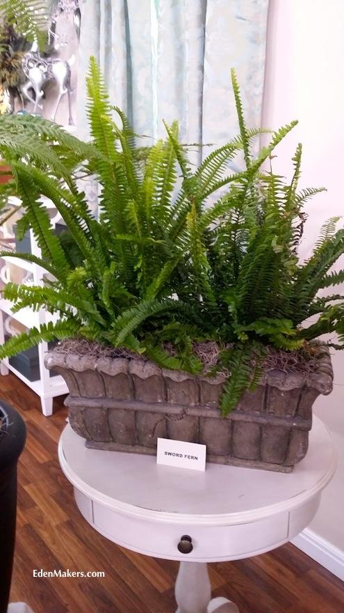 sword-fern-polystichum-munitum-edenmakers-blog-shirley-bovshow-designer-display