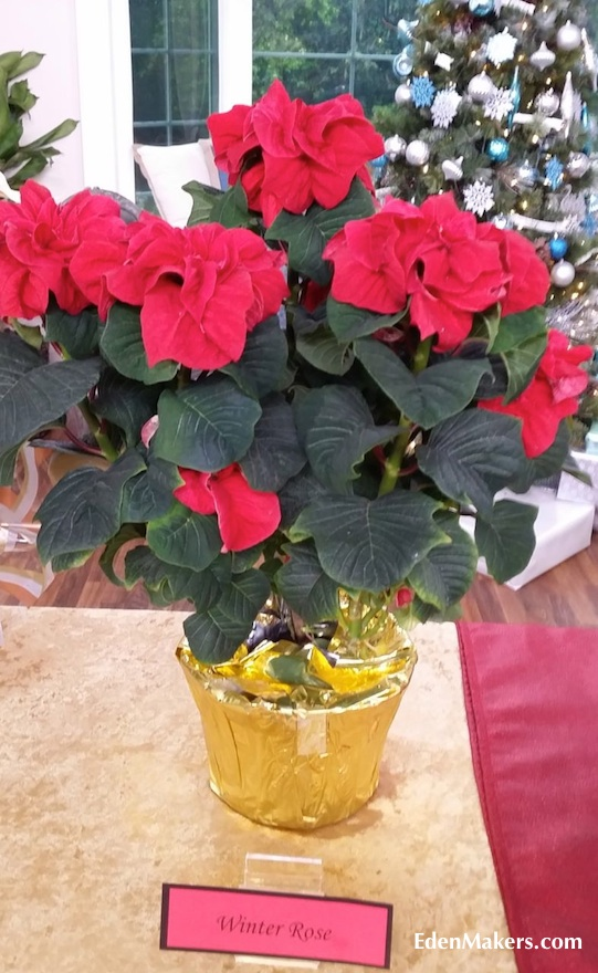winter-rose-red-poinsettia-home-and-family-show-edenmakers-blog-looks-like-rose