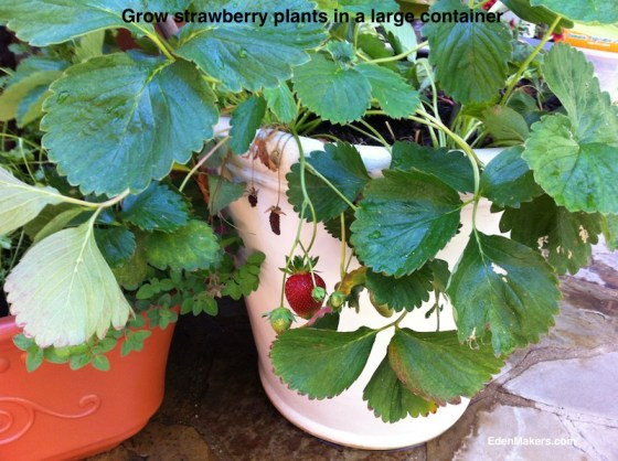 strawberry-plants-in-large-container-edenmakers-blog