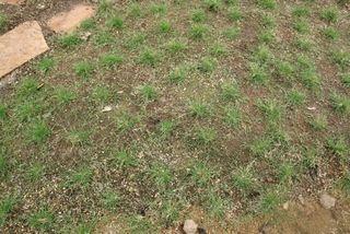 uc-verde-lawn-plugs