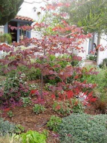 cercis canadensis tree