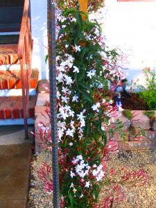 pink jasmine and hardenbergia vines
