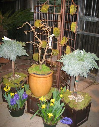 potted garden vignette for the spring with junipers harry lauder walking stick tree daffodils