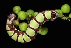 caterpillar16