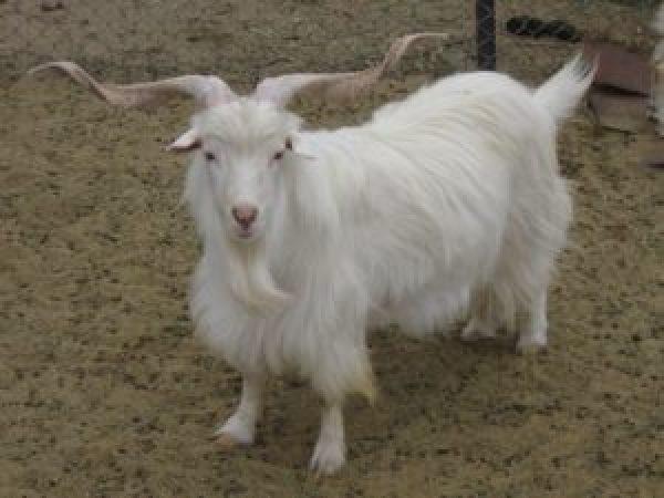 chèvre cachemire