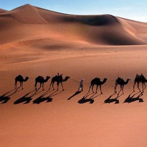 Dromadaire du désert saharien