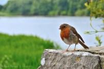 """El famoso """"Robin"""". Este debe estar acostumbrado a que los turistas lo alimenten. Nos siguió por un rato."""