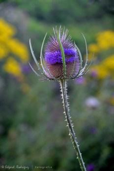 """Esta especie de """"teasle"""" (cardo / posiblemente Dipsacus fullonum) con flores muy particulares, están llenas de espinas y son comunes en estos ecosistemas."""