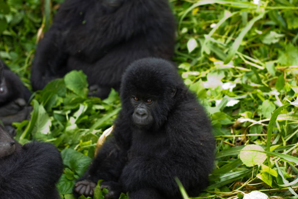 A young mountain gorilla in Virunga National Park. Photo by Cai Tjeenk Willink, Wikimedia Commons. Click to enlarge.