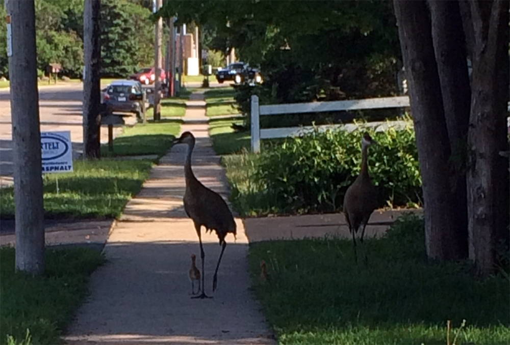 Sandhill Cranes that live in the Pheasant Branch Conservancy meander down my sidewalk. Photo by Sarah Groeneveld. Click to enlarge.