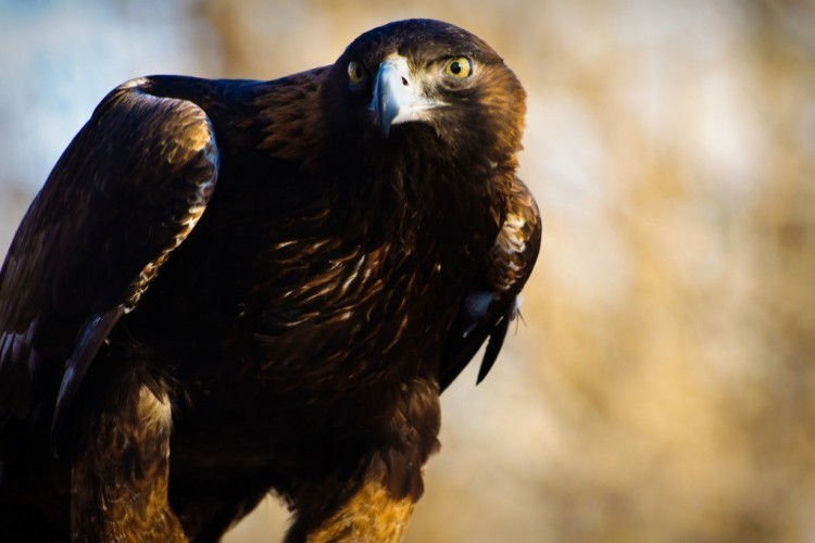 Young golden eagle by David Kingham, CC BY–NC–ND 2.0.