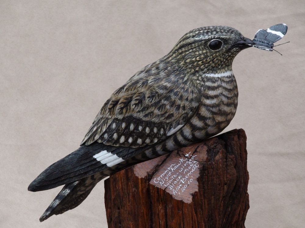 A Common Nighthawk savors the reward of a hunt for insects. Photo by Shana Ederer; copyright Alan J. Bennett 2016.
