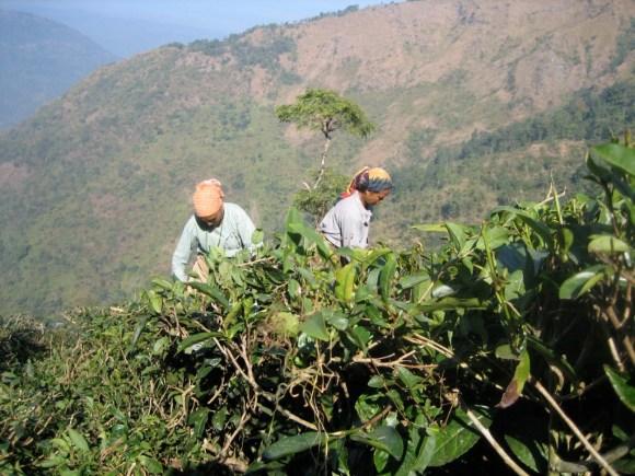 Women pick tea on a Darjeeling tea plantation. A space <em>of</em> labor. Photo: Sarah Besky.