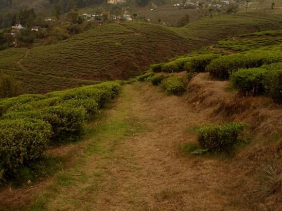 A Darjeeling tea plantation. Photo: Sarah Besky.