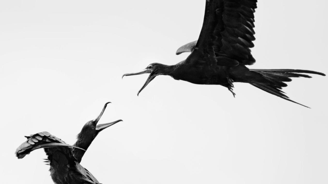 Great Frigatebirds. Photo: Carolina Anne Fraser/Audubon Photography Awards. Image used with kind permission of Carolina Anne Fraser.