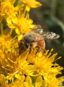 Honeybee. Image by Heather Swan, 2016.