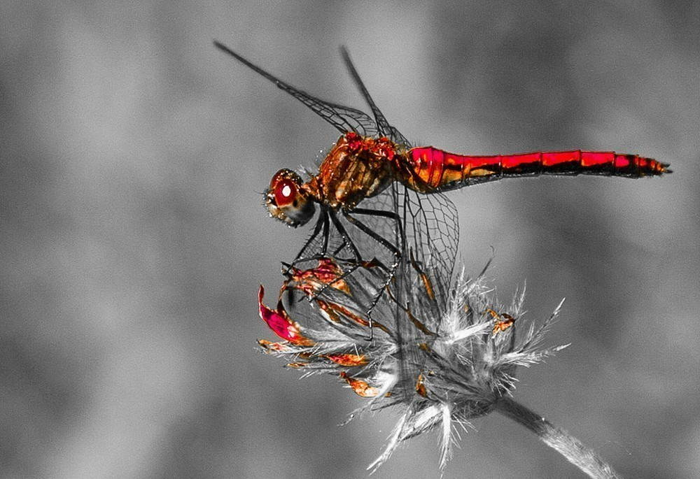 A red dragonfly rests on a thistle.