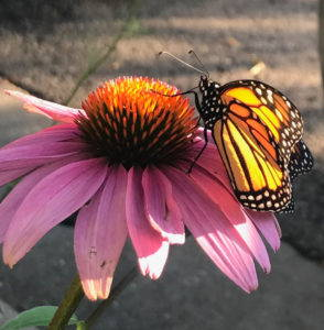 A monarch butterfly rests on a coneflower.