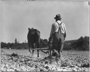 A black farmer plows a field in Alabama with a horse.