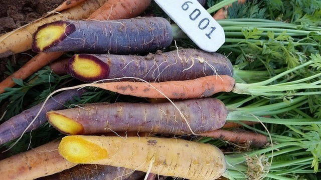 Carrot in deep red, orange, and a lighter orange-yellow color are stacked on each other with their green leafy tops visible. The ends of the carrots are loped off and a numbered tag is visible.